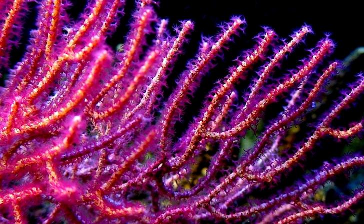 Red gorgonia