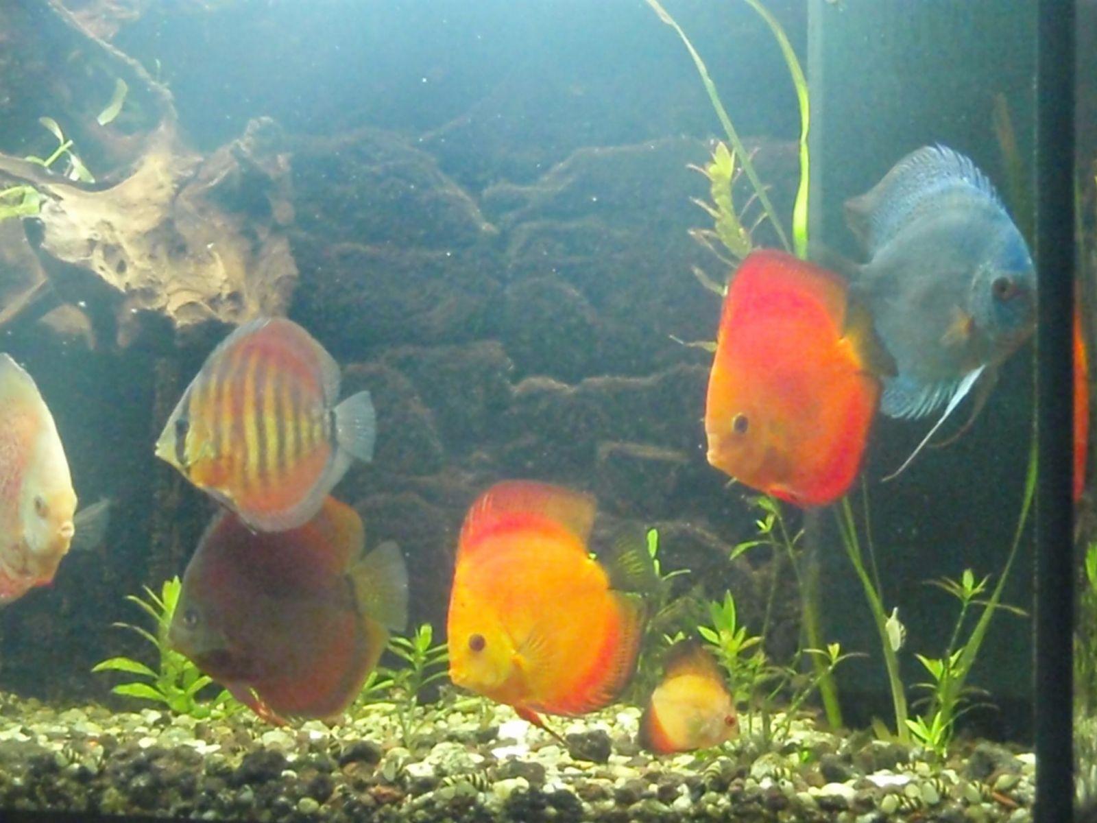 My Discus Aquarium