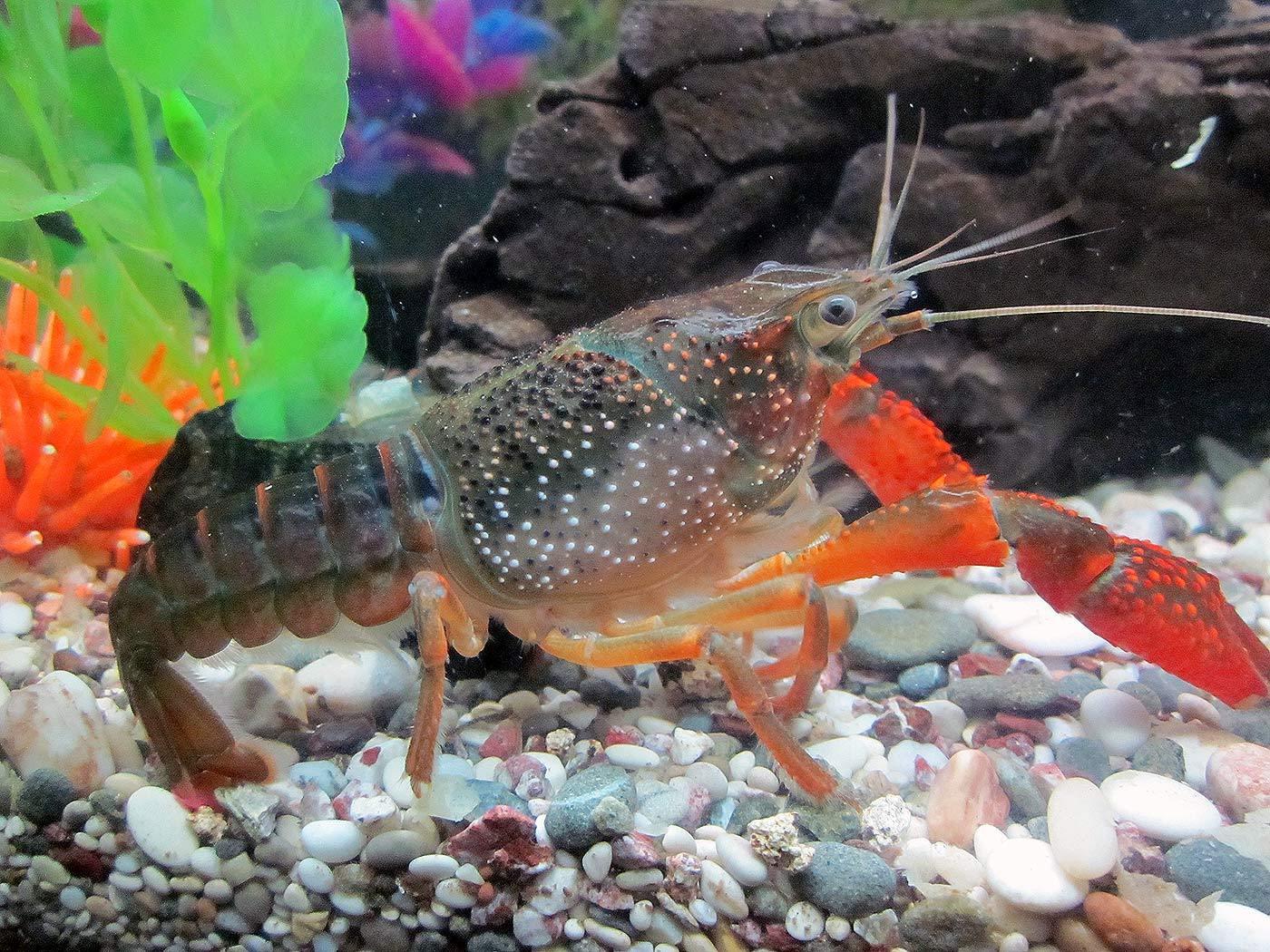 Αστακοί - Crayfish Procambarus Clarkii
