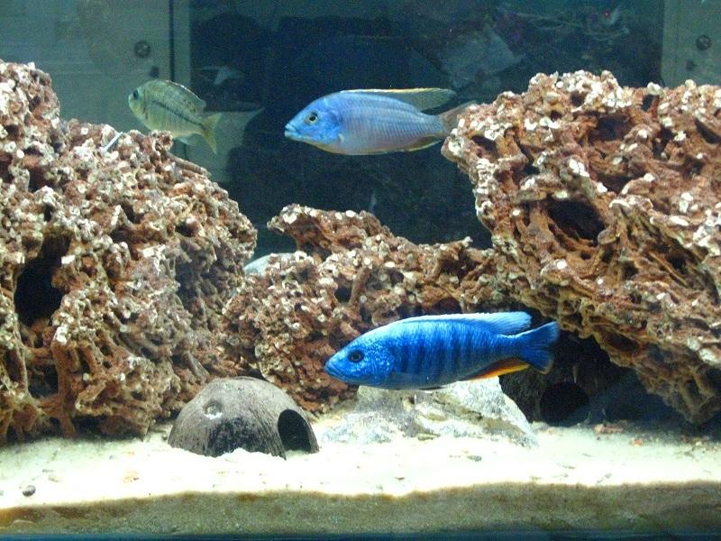Protomelas taeniolatus - Blue Ahli.