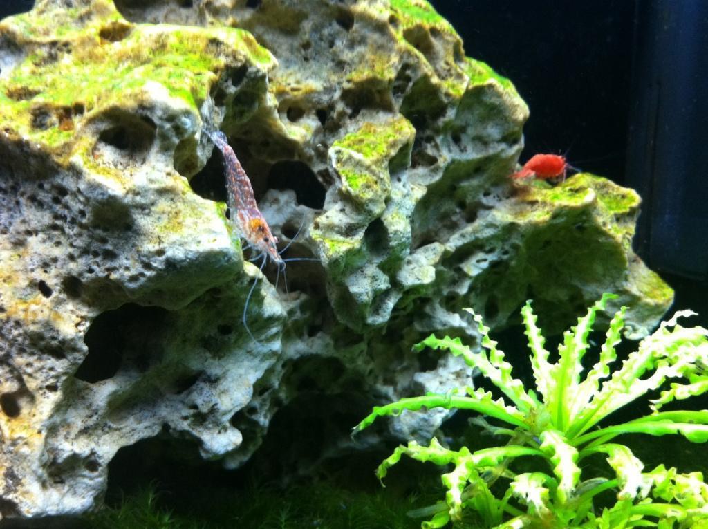 Amano & Red Cherry Shrimps