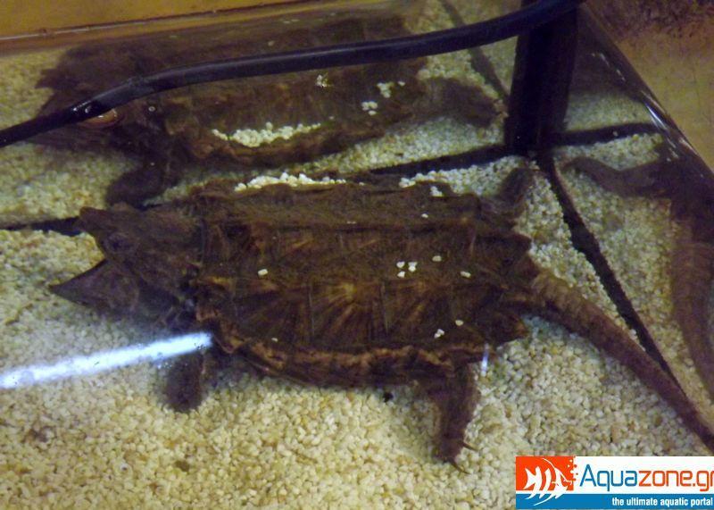 Alligator snaper 1 (Macrochelys temminckii)