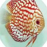 Aquadominus