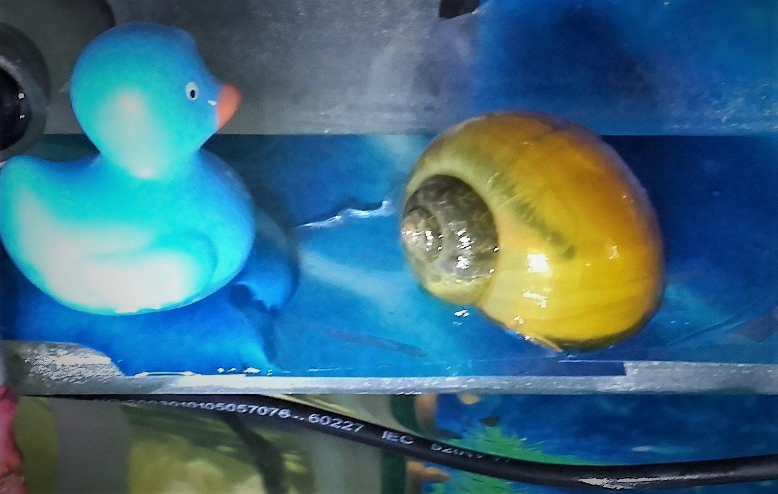 golden snail.jpg