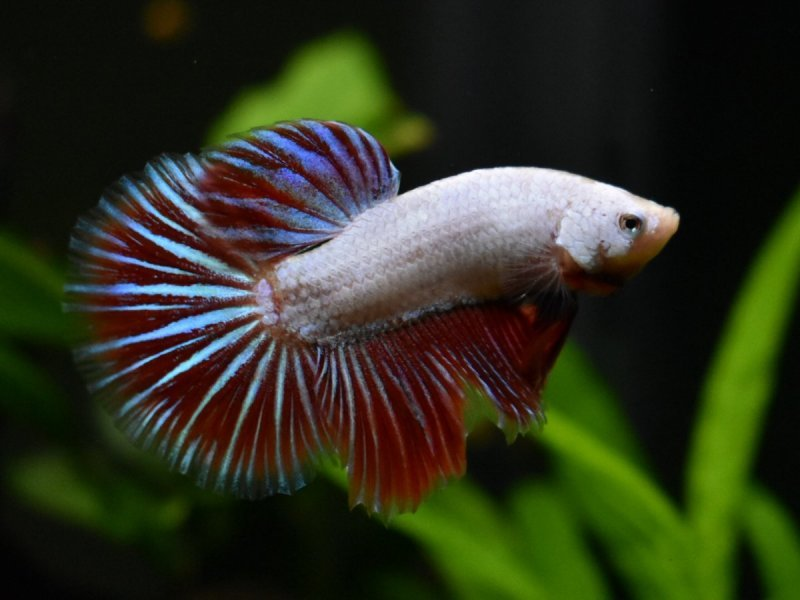 12 betta contest.jpeg