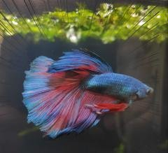 19 betta contest.jpeg