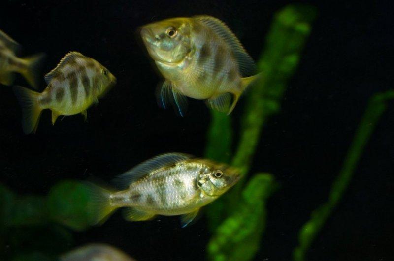 Nimbochromis venustus4.jpg
