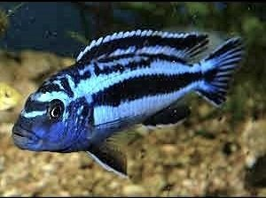 melanochromis maingano1.jpg