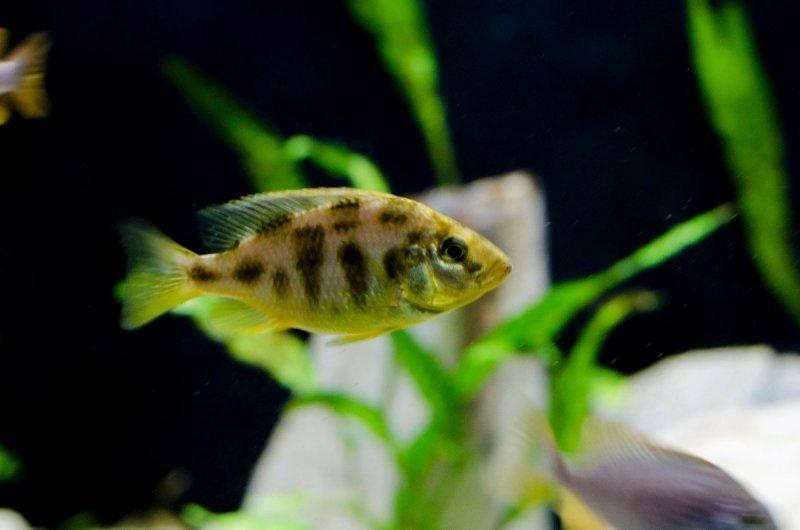 Nimbochromis venustus2.jpg
