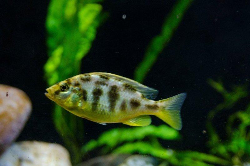 Nimbochromis venustus1.jpg
