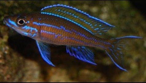 Paracyprichromis Nigripinnis.jpg