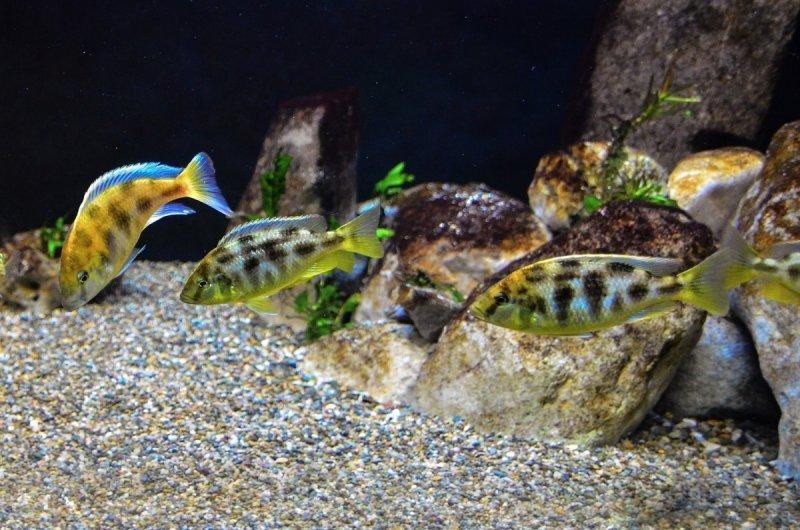 Nimbochromis venustus5.jpg