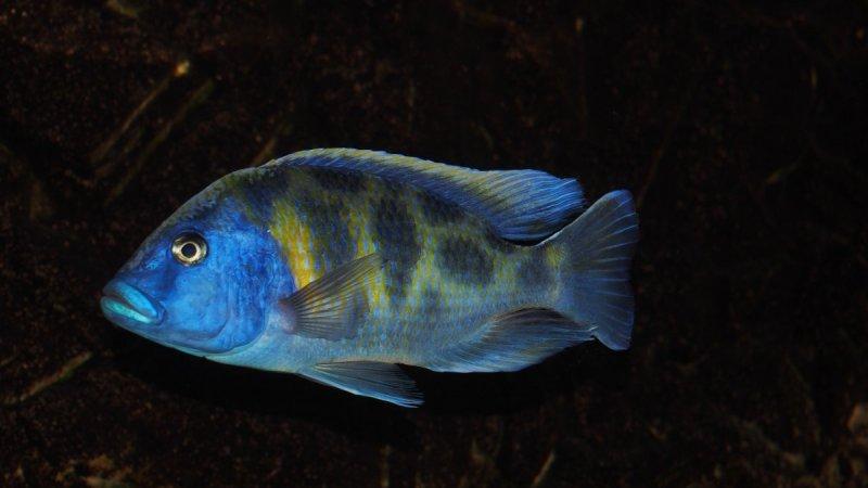 Nimbochromis venustus6.JPG