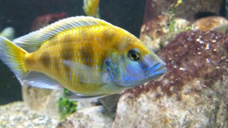 Nimbochromis venustus3.jpg