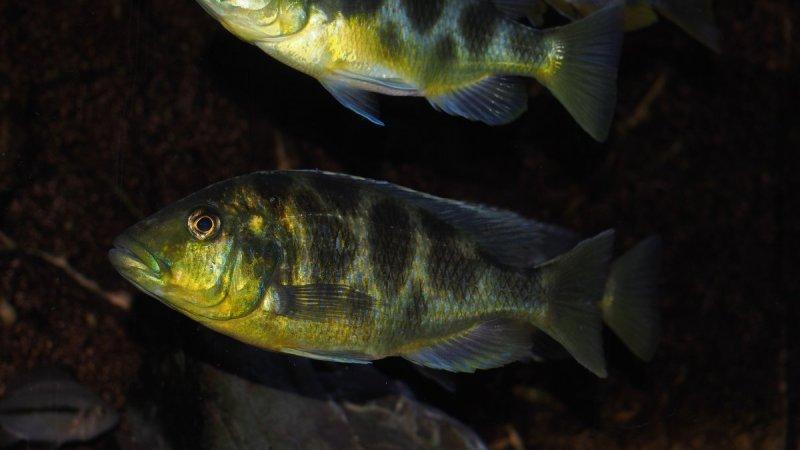 Nimbochromis venustus7.JPG