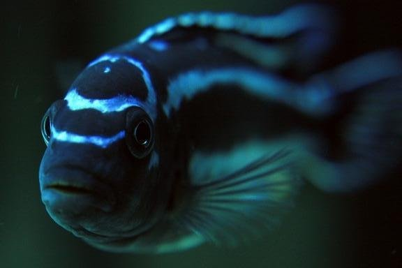 melanochromis maingano2.jpg