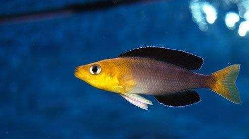 Cyprichromis Leptosoma Jumbo Kigoma.jpg