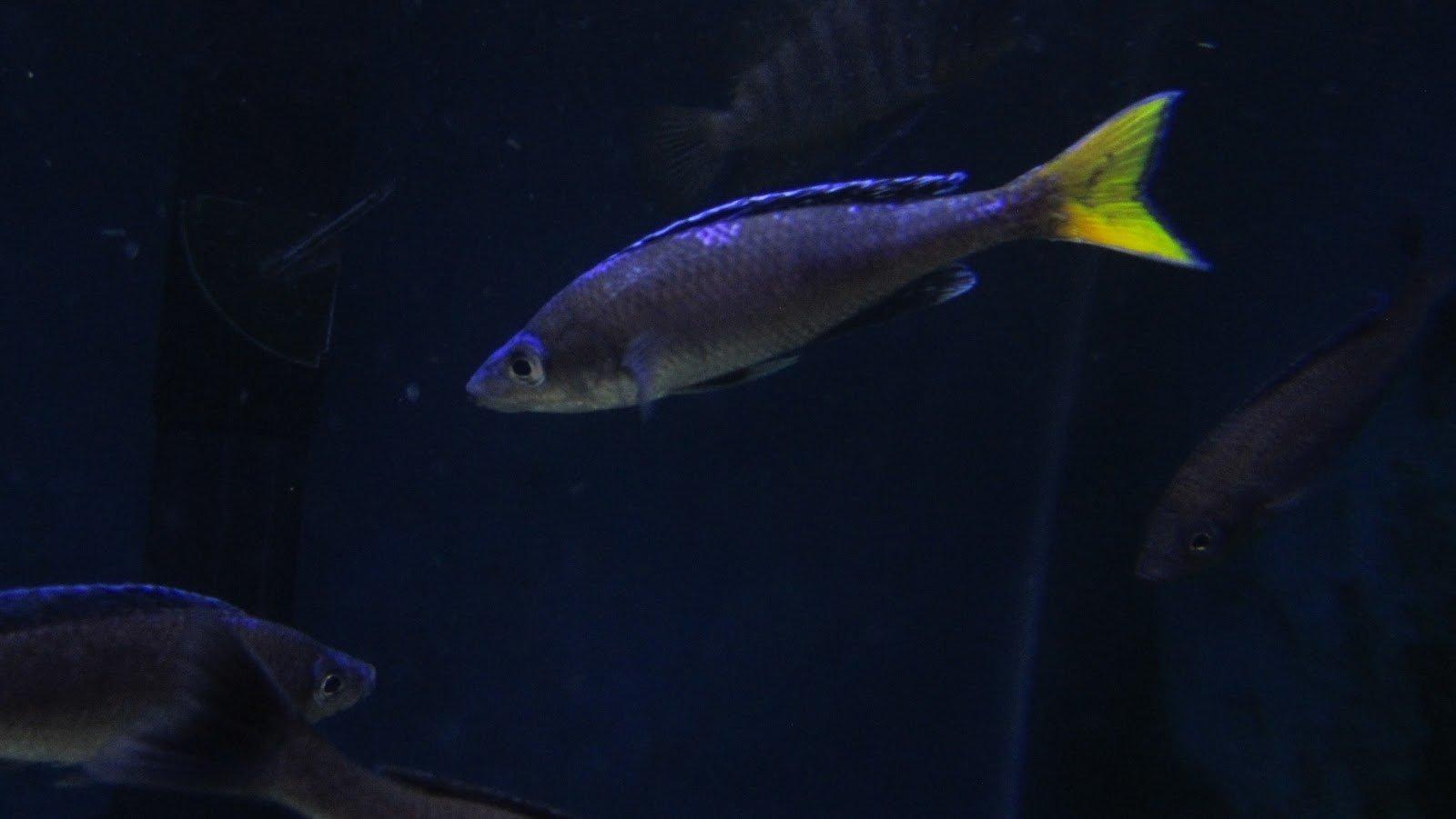 Cyprichromis Leptosoma (Unita)2.JPG