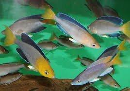 Cyprichromis Leptosoma Jumbo Kigoma2.jpg