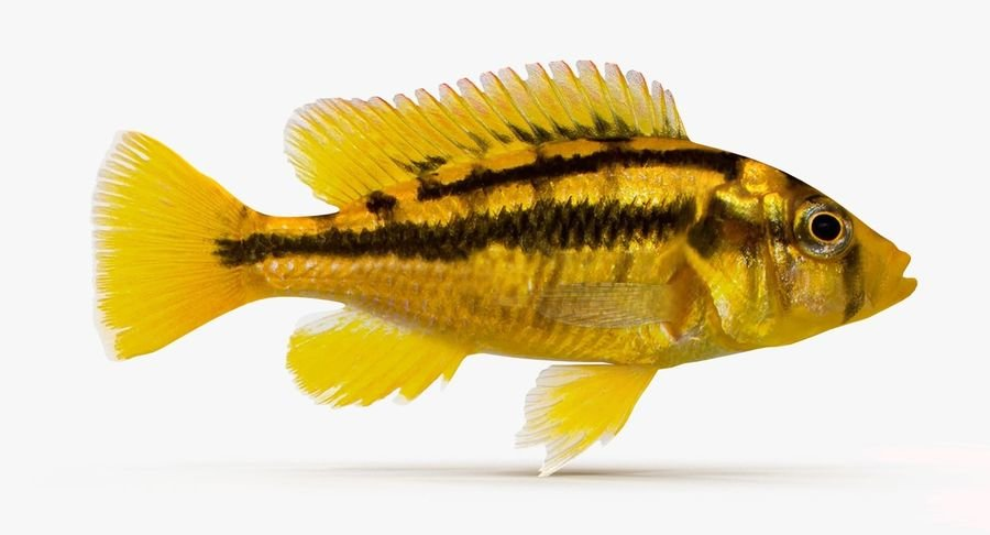 Paralabidochromis sauvagei2.jpg